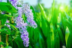 Petrea紫罗兰色花在树开花在庭院里 图库摄影