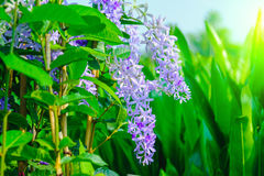 Petrea紫罗兰色花在树开花在庭院里 库存照片
