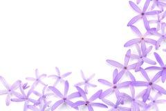 Petrea Flowers (la guirlande de la Reine, la vigne de papier sablé, la guirlande pourpre) Photographie stock libre de droits