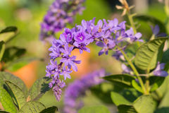 Petrea racemosa, purple wreath or sandpaper vine flower Royalty Free Stock Photography