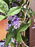 Petrea volubilis或沙纸藤或者紫色花圈或者女王/王后` s花圈或Petrea kohautiana或者Petre racemosa开花 库存照片