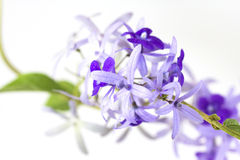 Petrea volubilis flower. Features a bouquet of purple flowers Royalty Free Stock Image