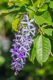 Petrea volubilis kwiaty, Purpurowi winogradów kwiaty Zdjęcie Stock