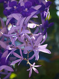 Petrea-volubilis Purpurblume Lizenzfreie Stockfotos