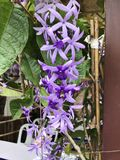 Petrea volubilis or Sandpaper vine or Purple wreath or Queen`s wreath or Petrea kohautiana or Petre racemosa flowers. stock images