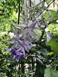 Petrea volubilis or Sandpaper vine or Purple wreath or Queen`s wreath or Petrea kohautiana or Petre racemosa or Bluebird vine flow stock images