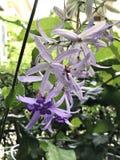 Petrea volubilis or Sandpaper vine or Purple wreath or Queen`s wreath or Petrea kohautiana or Petre racemosa or Bluebird vine flow stock photos