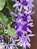 Petrea volubilis or Sandpaper vine or Purple wreath or Queen`s wreath or Petrea kohautiana or Petre racemosa flowers. stock photo