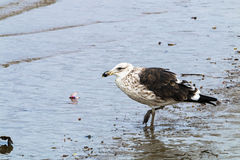 Petrel Bird Pecking at Pollution Debris in Harbor. Petrel bird pecking at pollution garbage debris in harbor in Durban, South Africa royalty free stock images