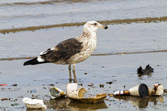 Petrel Bird Wading in Polluted Shallows of Harbor Royalty Free Stock Photo
