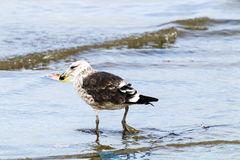 Petrel Bird Wading in the Shallows of Harbor Royalty Free Stock Photo