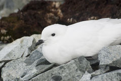 Petrel de la nieve que descansa sobre las islas antárticas. Foto de archivo