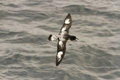 Petrel de Pintado de bordo Imagens de Stock