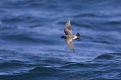 Petrel de tempestade inchado preto sobre o mar Fotografia de Stock Royalty Free