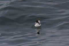 Petrel del cabo que se sienta en el océano fotografía de archivo