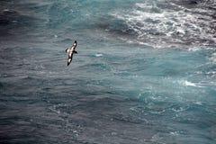 Petrel do cabo (capense de Pintado, de Daption), Imagem de Stock Royalty Free