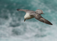 Petrel do norte (glacialis do Fulmarus) Imagem de Stock Royalty Free