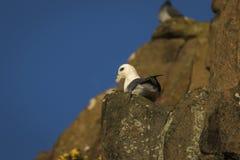 Petrel do norte que senta-se em um penhasco em Aberdour Escócia fotografia de stock royalty free