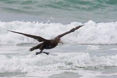 Petrel do sul na praia Fotografia de Stock Royalty Free