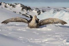 Petrel gigante meridional que se sienta en la nieve que abre las alas foto de archivo libre de regalías