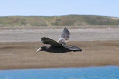 Petrel gigante, península Valdes foto de archivo libre de regalías
