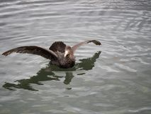 Petrel gigante septentrional con las alas extendidas imágenes de archivo libres de regalías