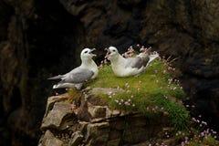 Petrel (glacialis do Fulmarus) Fotografia de Stock Royalty Free
