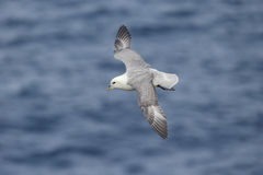 Petrel, glacialis do Fulmarus Fotos de Stock Royalty Free