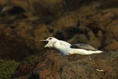 Petrel que grita na borda do penhasco em Hawkcraig Aberdour Escócia imagens de stock royalty free