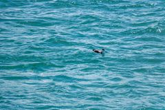 Petrel Rests On Ocean. Petrel on calm blue ocean with negative copy space Stock Photography