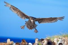 Petrel w locie Gigantyczny petrel, duży denny ptak na niebie ptak w natury siedlisku Denny zwierzę od Dennego lwa wyspy, Falkland Obrazy Stock