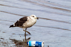 Petrel Wading in Polluted Shallows of Harbor, Durban South Afric. A Royalty Free Stock Images