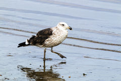 Petrel Wading in the Shallows of Harbor, Durban South Africa Stock Images