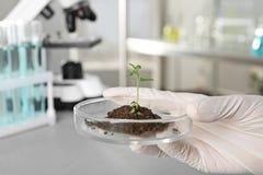 Petri εκμετάλλευσης αναλυτών πιάτο με το πράσινο sprou στοκ φωτογραφία