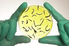 Petri πιάτο με τα κύτταρα ιών στοκ εικόνες με δικαίωμα ελεύθερης χρήσης