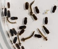 A Petri dish containing mosquitoes at varying stages of maturation. A clear Petri dish containing mosquito larva, pupae and eggs. The insects are suspended in Stock Photography