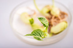 Petri dish on laboratory for  biotecnology testing of sprouts. Royalty Free Stock Images