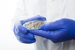 Petri dish with Penicillium fungi Royalty Free Stock Photo