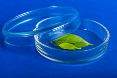 Petri dish with plant in scientific laboratory. Labware dish for biochemical experiment Stock Photos