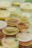 Petri naczynia Obrazy Royalty Free