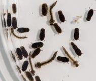 Petri naczynie zawiera komarów przy zmieniać sceny maturation fotografia stock