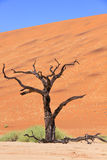 Petrified acacia tree found in Deadvlei white clay pan in Naukluft National Park, Namibia Royalty Free Stock Image