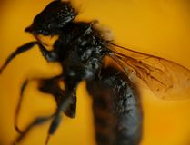 Petrified bee on amber Stock Photos