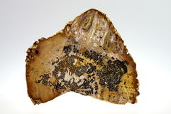 Petrified palm trunk Stock Image