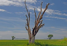 Petrified tree in Everglades National Park. A petrified tree stands in a meadow, against a blue sky, in the Flamingo area of Everglades National Park i that was stock photo