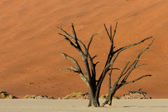 Petrified tree in front of an orange sand dune Stock Photography
