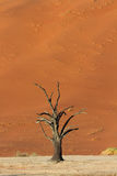 Petrified Tree in front of a red sand dune Stock Photos