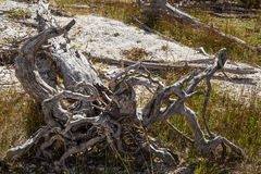 Petrified tree with roots inYellowstone national park,WY,USA. Dead petrified tree with roots,green grass and ground as background, in Yellowstone national park Stock Photography