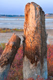 Petrified tree stubs on the lake. Petrified tree stubs on the bank of the salty lake, Kuyalnik, Ukraine Royalty Free Stock Photography