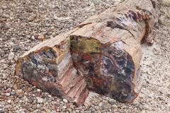 Petrified Wood. Colorful petrified wood, Petrified Forest National Park, Arizona, USA Stock Photo